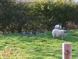 sheep and geese on a lawn