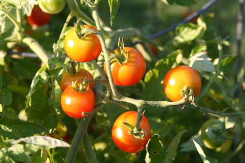 Tomato plant with ripening tomatoes