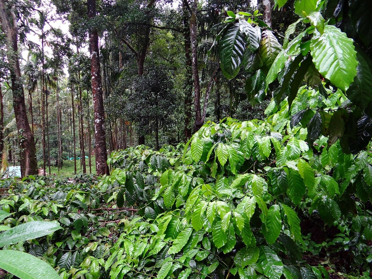 shade grown coffee growing